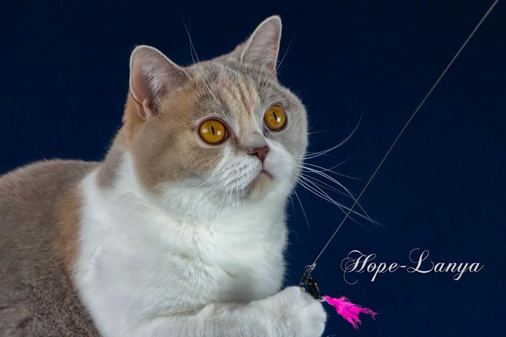 Hope-Lanya von der weißen Fee, Britisch Kurzhaar